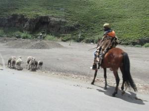 Shepherd herding sheep
