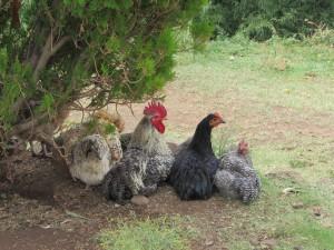 The village chickens