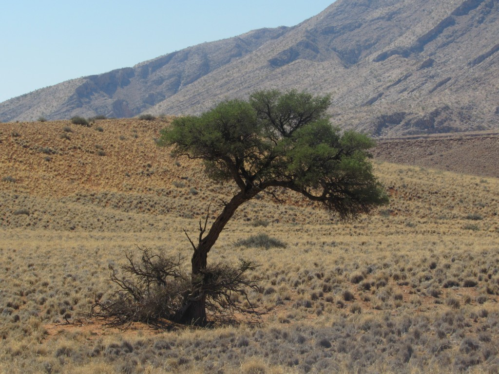 Desert adapted tree